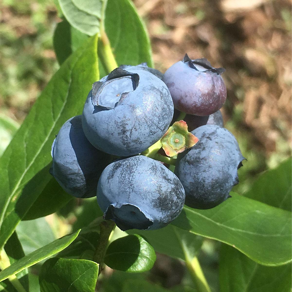 【ふるさと納税】ブルーベリー(有機JAS認定)500g【【果物・フルーツ・果物類・ブルーベリー】