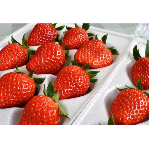 【ふるさと納税】南信州産「いちご」 (300g×8パック) 【たかずやファーム】 【果物類・いちご・苺・イチゴ】 お届け:2020年1月5日~2月15日