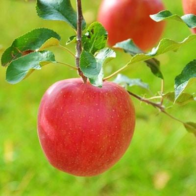 【ふるさと納税】【先行受付開始】信州のりんご シナノスイート 約5キロ!【1041420】