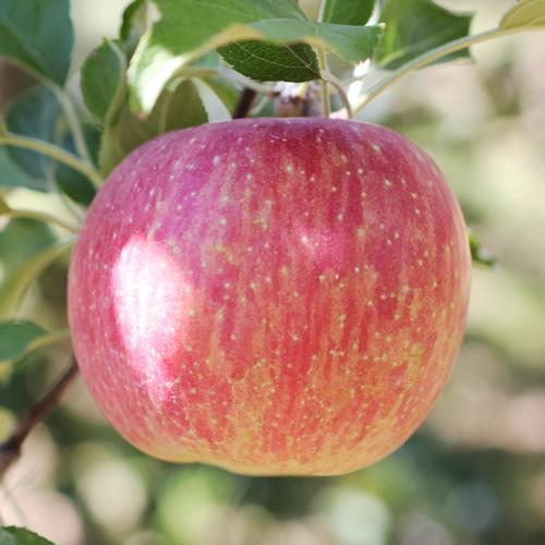 【ふるさと納税】りんごのトップバッターつがる! 長野県産 りんご(つがる) 約5kg 秀品※8月中旬~9月中旬頃に順次発送予定※着日指定はできません。沖縄・離島への発送不可。