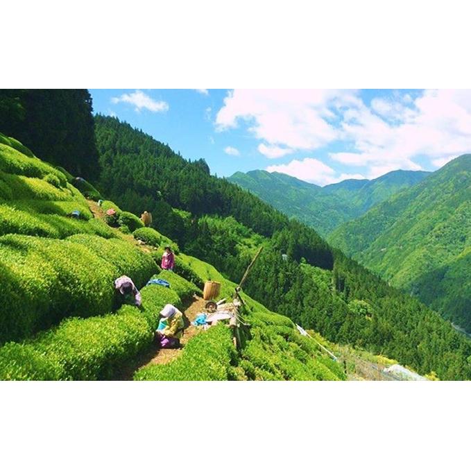 【ふるさと納税】長野県天龍村・中井侍地区のお茶 【飲料類・お茶・茶葉】