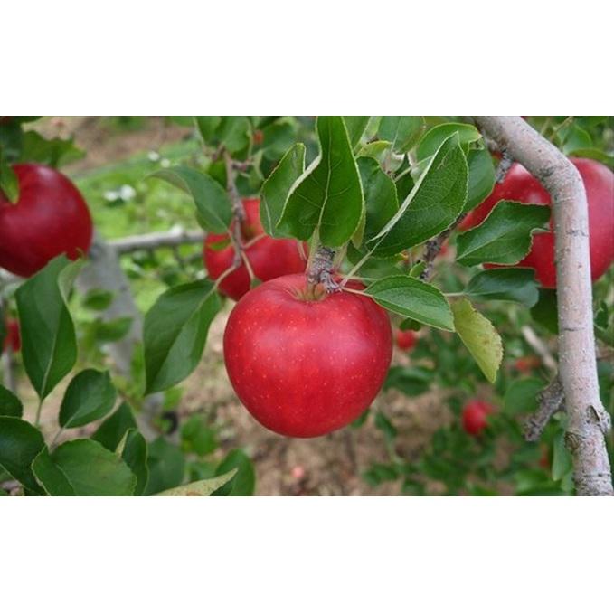【ふるさと納税】【2019年度産】安曇野のシナノピッコロ 約4.5kg 【果物類・林檎・りんご・リンゴ】 お届け:2019年9月中旬~9月下旬