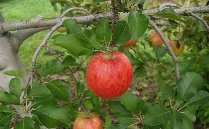 【ふるさと納税】【2019年度産】安曇野のシナノドルチェ 並品 約10kg 【果物類・林檎・りんご・リンゴ】 お届け:2019年9月中旬~9月下旬