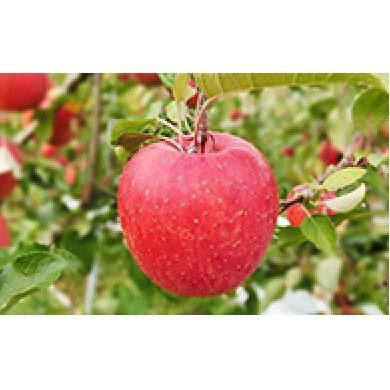 【ふるさと納税】北條農園の「シナノドルチェ」約5kg 【果物類・林檎・りんご・リンゴ・果物・フルーツ】 お届け:2020年9月中旬~2020年9月下旬