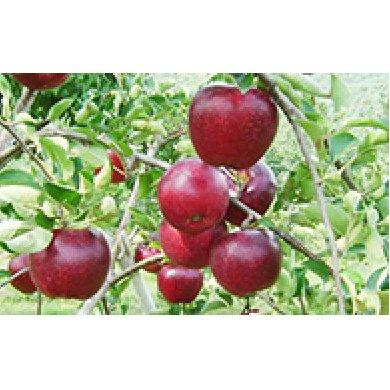 【ふるさと納税】北條農園の「秋映」約5kg 【果物類・林檎・りんご・リンゴ・果物・フルーツ】 お届け:2020年9月下旬~10月上旬