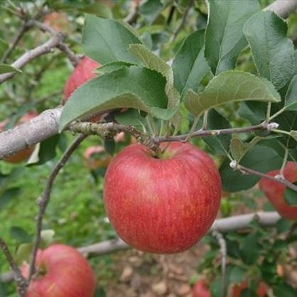 【ふるさと納税】【2020年度産】安曇野のシナノスイート 約5kg 【果物類・林檎・りんご・リンゴ】 お届け:2020年10月上旬~10月下旬