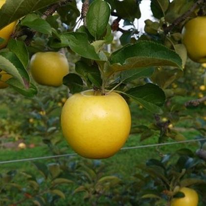 【ふるさと納税】【2020年度産】安曇野のシナノゴールド 約5kg 【果物類・林檎・りんご・リンゴ】 お届け:2020年10月下旬~2021年1月中旬