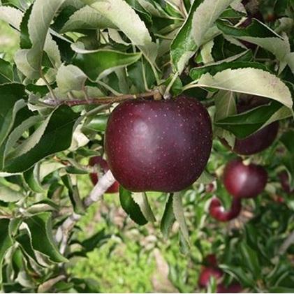 【ふるさと納税】【2020年度産】安曇野の秋映(あきばえ)並品 約10kg 【果物類・林檎・りんご・リンゴ】 お届け:2020年9月下旬~10月上旬