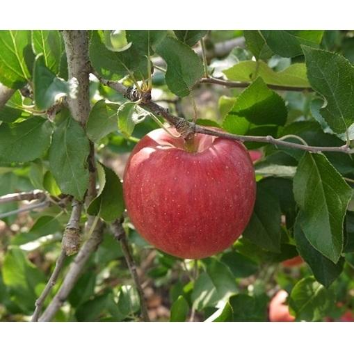 【ふるさと納税】【2020年度産】安曇野のサンふじ 約10kg 【果物類・林檎・りんご・リンゴ】 お届け:2020年12月中旬~2021年1月下旬