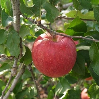 【ふるさと納税】【2020年度産】安曇野のサンふじ 家庭用 約10kg 【果物類・林檎・りんご・リンゴ】 お届け:2020年12月中旬~2021年1月下旬