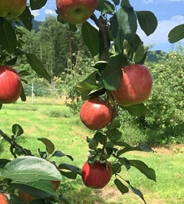 【ふるさと納税】2020年 外川果樹園【家庭用】シナノレッド約5kg 【果物類・林檎・りんご・リンゴ】 お届け:2020年8月下旬~9月上旬