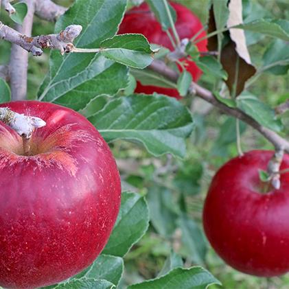 【ふるさと納税】2020年 外川果樹園【贈答用】紅玉 約5kg 【果物類・林檎・りんご・リンゴ】 お届け:2020年9月下旬~10月下旬