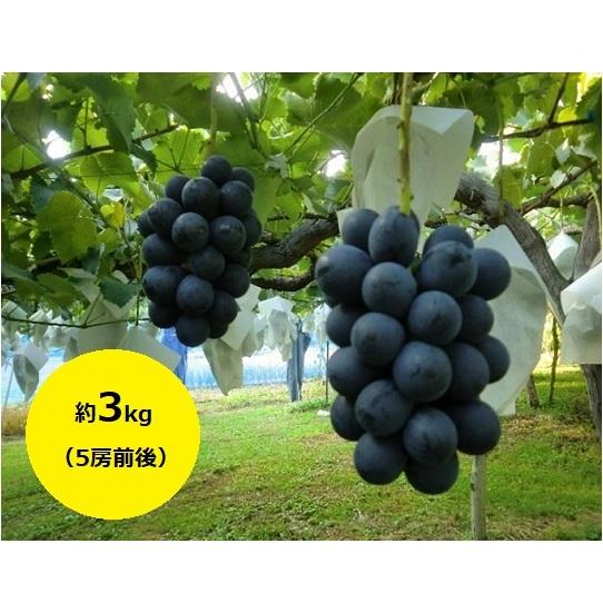 【ふるさと納税】たきざわ果樹園のナガノパープル約3kg(5房前後) 【果物・ぶどう・フルーツ・葡萄・ブドウ】 お届け:2020年9月上旬~9月下旬
