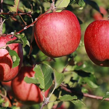 【ふるさと納税】サンふじ 丸秀品 約5kg(18玉入り) 【果物類・林檎・りんご・リンゴ】 お届け:2020年12月上旬~12月中旬
