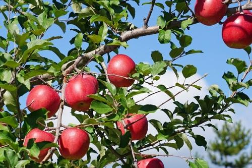 【ふるさと納税】【先行予約】 丸山りんご園 の りんご 【 サンふじ 】 訳あり 10kg 減農薬栽培 長野県飯綱町産 【 信州 リンゴ 】 お届け:2020年12月上旬~