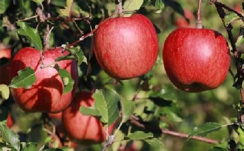 【ふるさと納税】【先行予約】 飯綱町産 葉とらず りんご サンふじ 家庭用 10kg
