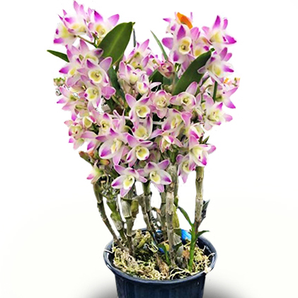 【ふるさと納税】馬渕洋蘭 幻のデンドロビューム チャイナ ドリームクリスタル 5.0サイズ 【植物・お花・花】 お届け:2020年12月中旬~2021年3月中旬