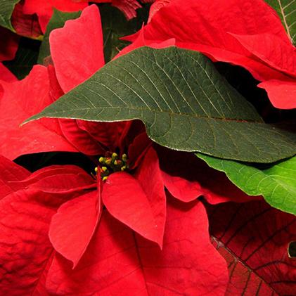 【ふるさと納税】【クレカ限定】ポインセチア鉢植え 赤 5号 【植物・雑貨・日用品・花・インテリア・ガーデニング】 お届け:2019年11月21日頃より随時