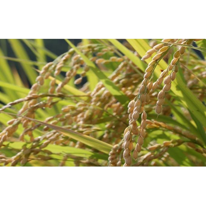 【ふるさと納税】お茶農家の『ミル採りコシヒカリ』 【お米・コシヒカリ】