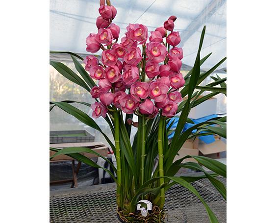 ふるさと納税 No.093 シンビジューム 花五輪 シンビジウム 鉢花 農産品 愛知県 最安値,人気