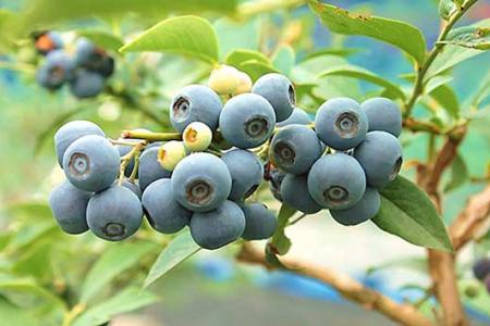 【ふるさと納税】生果ブルーベリー 3kg