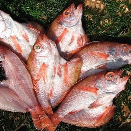 【京都府宮津市】 【ふるさと納税】~丹後の魚屋お薦め~高級のどぐろの一夜干し 【魚貝類・加工食品・魚貝類】