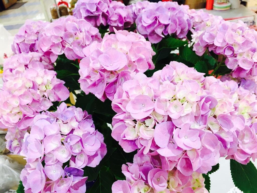 ふるさと納税 D-176 母の日ギフト あじさい 鉢花 公式 ☆送料無料☆ 当日発送可能 お母さんへのプレゼントに