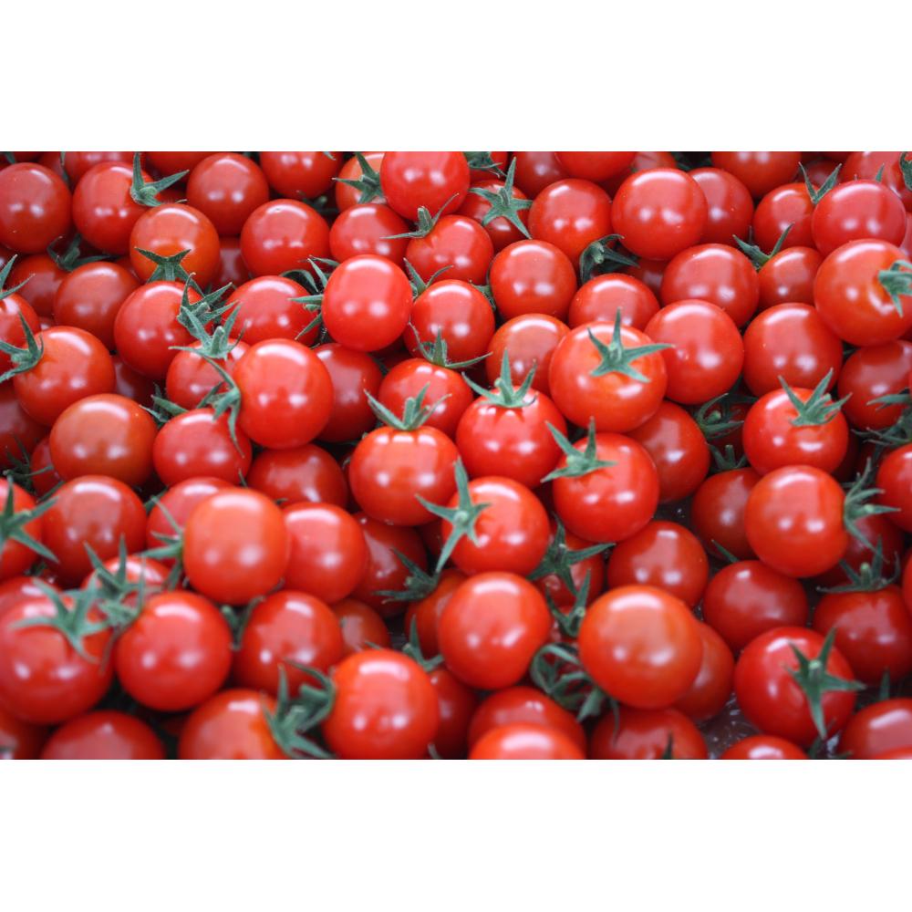 【ふるさと納税】愛情たっぷり育てられた極糖トマト