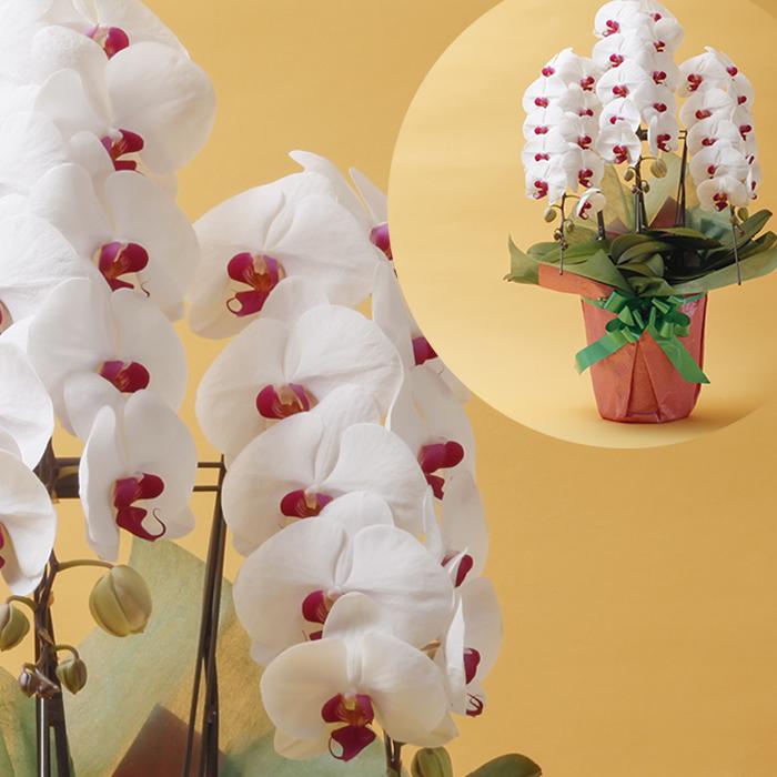 【ふるさと納税】胡蝶蘭(赤リップ) 【植物・花・鉢植え】 お届け:2020年3月中旬~2020年11月10日頃