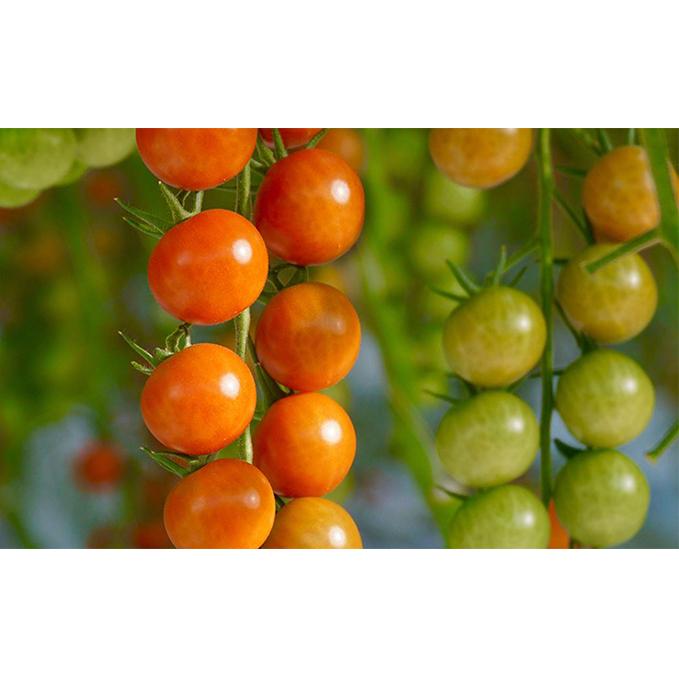 【ふるさと納税】トマト3種食べ比べ(カリーナ・スプラッシュ・ごちそうトマト)計21パック 【野菜・トマト・ミニトマト】 お届け:2019年12月1日~2020年5月31日