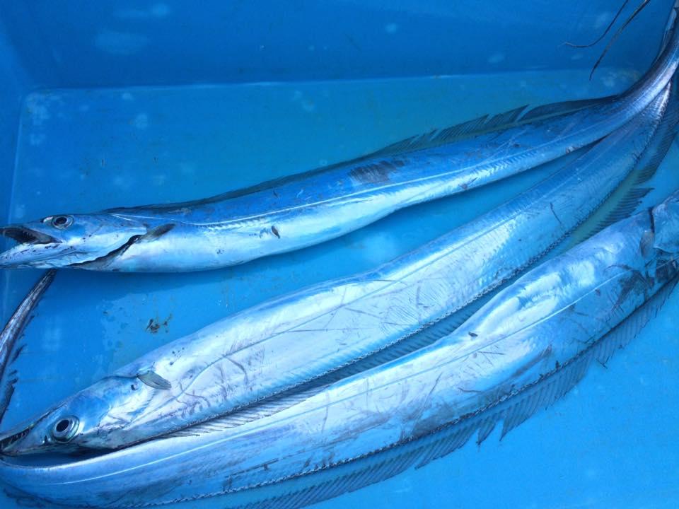 【ふるさと納税】紀州 太刀魚ドラゴンサイズ(約1kg以上)