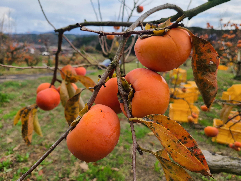 【ふるさと納税】富有柿(6.5kg箱)<令和3年収穫分早期予約>