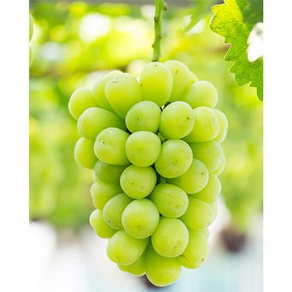【ふるさと納税】林ぶどう研究所 マスカットジパング 約1kg(1~2房) 【果物・ぶどう・フルーツ・果物類】 お届け:2020年9月上旬~2020年10月上旬
