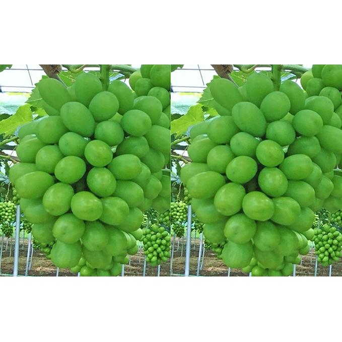 【ふるさと納税】赤磐市産 シャインマスカット 約1.5kg 2房 温室無加温栽培 【果物類・ぶどう・マスカット・フルーツ・果物】 お届け:2020年8月下旬~2020年9月中旬