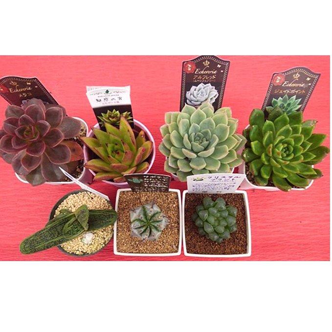 【ふるさと納税】多肉植物特選アソートセット プレミアム5種類 【花・苗木・多肉・多肉植物】