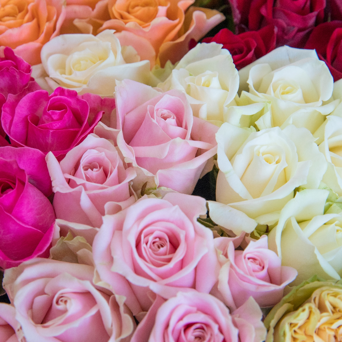 【ふるさと納税】OKM01 日本一に輝いた阿波のバラをお届け! ローズガーデン徳島 阿波バラ20本