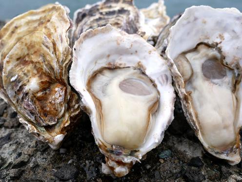 【ふるさと納税】(予約受付中:旬にお届け!2020年1月から4月までの期間限定出荷!)多度津 白方 殻付き活牡蛎カンカン焼セット 約3kg (加熱用)〔提供:株式会社 牡蛎屋りょうせん〕
