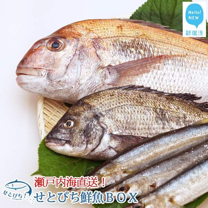 【ふるさと納税】 せとぴち!鮮魚BOX(約8~10kg)