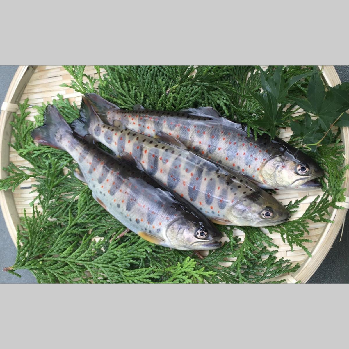 【ふるさと納税】ユズアマゴ (仁淀川町) 川魚