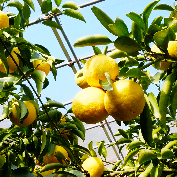 【ふるさと納税】高知県浦ノ内産 ハウス小夏(日向夏)5kg 柑橘 フルーツ みかん 産地直送