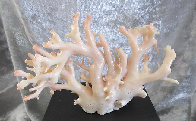 【ふるさと納税】[053347]ピンク珊瑚の原木・拝見A