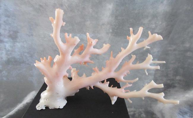 【ふるさと納税】[053348]ピンク珊瑚の原木・拝見B