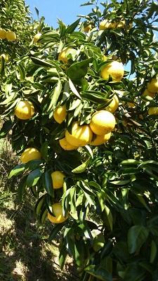 【ふるさと納税】[017037]成田果樹園 季節のフルーツ【小夏コース】年間 4回配送