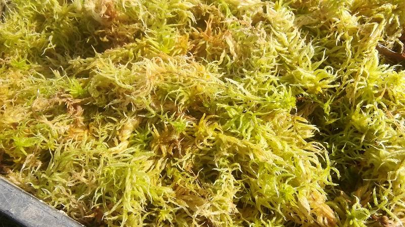 【ふるさと納税】サラセニア牧場の生水苔 12L