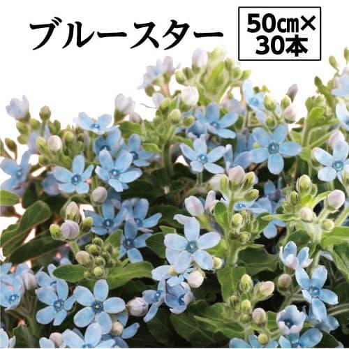 【ふるさと納税】ブルースター<芸西村 切り花 幸せの青い星 花言葉「信じあう心」>