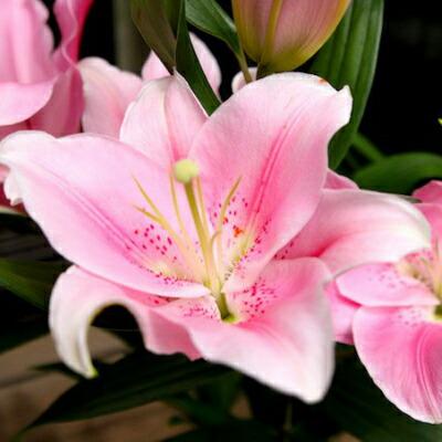 【ふるさと納税】Osy-01 日頃の感謝を「花束」に込めて。【オリエンタルリリー】
