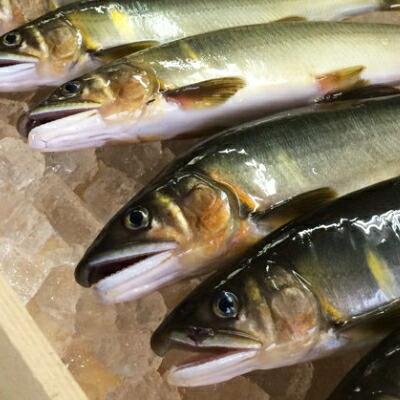 【ふるさと納税】Esj-41k 四万十川上流の天然釣り鮎〈冷凍〉