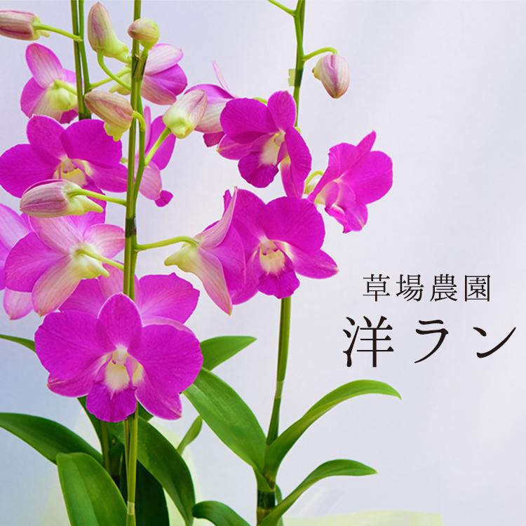 【ふるさと納税】草場農園の洋ラン(3本立て)