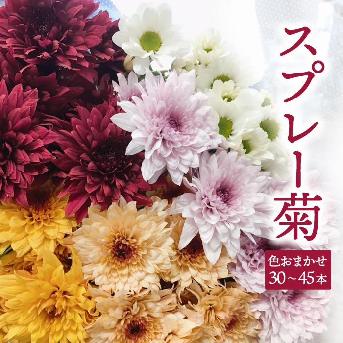 花束に もちろん仏花にも 両方いけるスプレー菊 全品送料無料 ふるさと納税 花束 30~45本 スプレー菊 値下げ