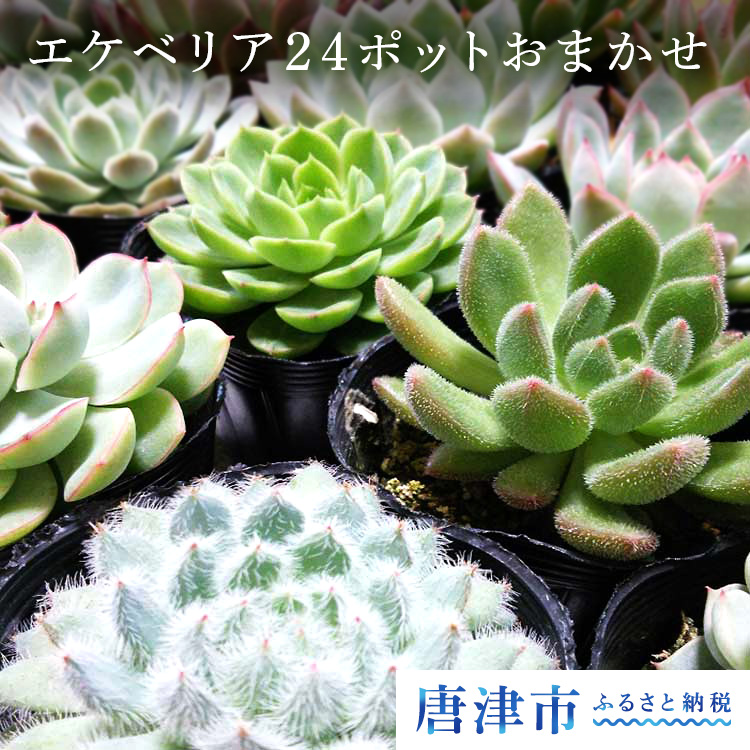 【ふるさと納税】多肉植物エケベリア24ポットおまかせセット【】